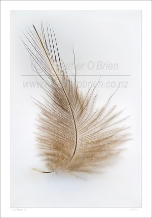 A single north Island Brown Kiwi feather 1.2
