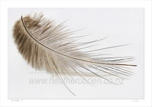 A single north Island Brown Kiwi feather 1.1