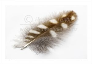 A single morepork feather 1.1